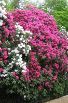 Ramster rhododendrons