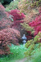 Acers in the Autumn